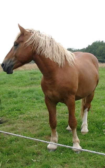 Palatinate Ardennes stallion Charly-Braun