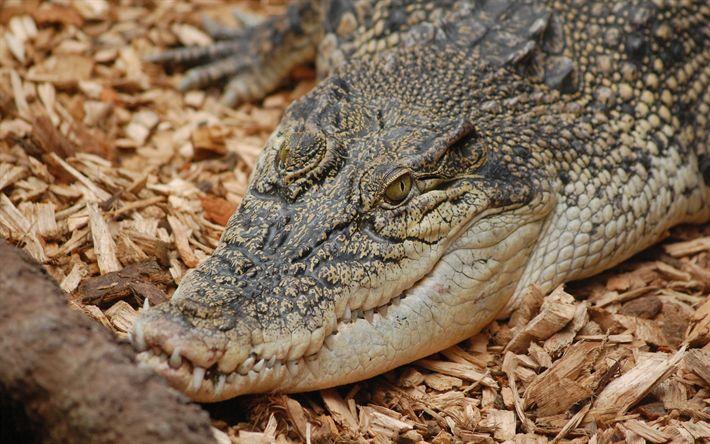 Download wallpapers large crocodile, wildlife, predator, autumn, sawdust, crocodiles