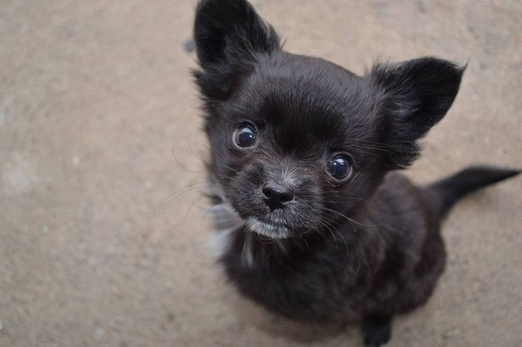 My Pomerania chihuahua puppy.  Name yoda  Age 8 weeks  Sex male  1.8 lbs