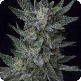 Auto Bubblegum - strain - TH Seeds   Cannapedia
