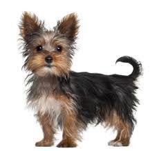 Resultado de imagen para decoracion chanel con perros yorkshire toy