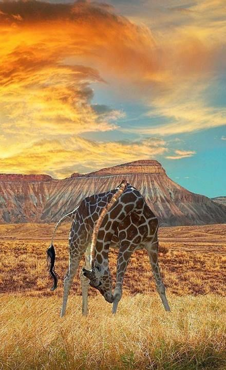 Beautiful Giraffe on the African Veld