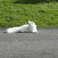 #dogalize Gatto persiano bianco: gli esemplari più amati #dogs #cats #pets