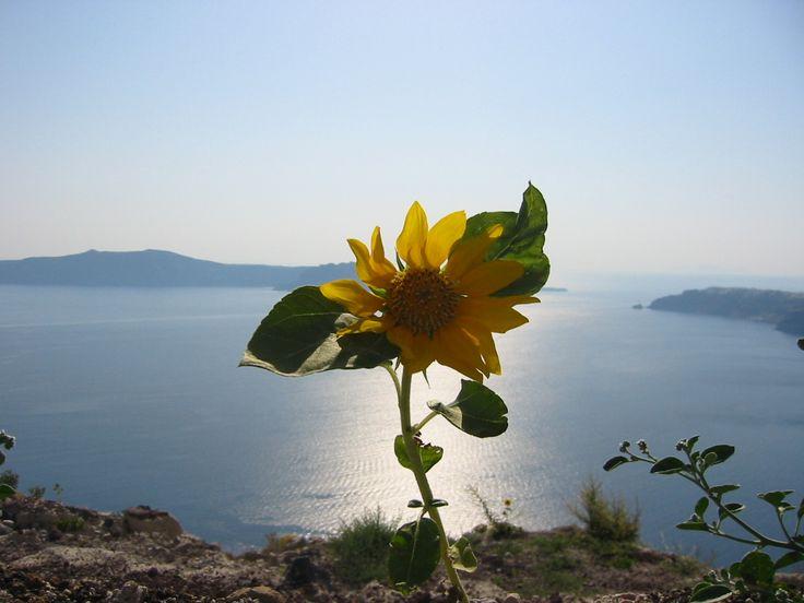 Flower in Santorini