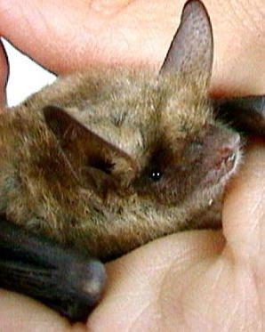 MODENA.  Sono tante e negative le credenze popolari sui pipistrelli, come quella secondo cui questi animali succhiano il sangue delle persone o se ti fanno la pipì in testa, ti fanno cadere i capelli....