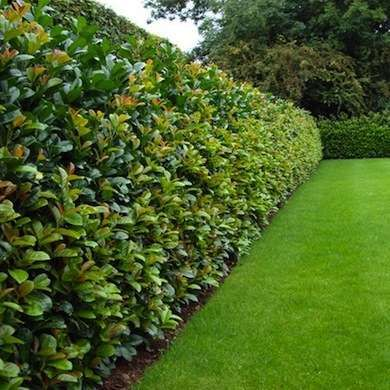 """Natural fences constructed of shrubbery, trees, or flowering bushes are attractive and environmentally friendly havens for songbirds, butterflies, and other desirable fauna. These living fences also provide an eye-catching way to define your property's boundaries, and they serve as effective and visually pleasing privacy screens—as the adage says, """"good fences make good neighbors."""" Here are 11 ideas for integrating a natural fence into your own property."""