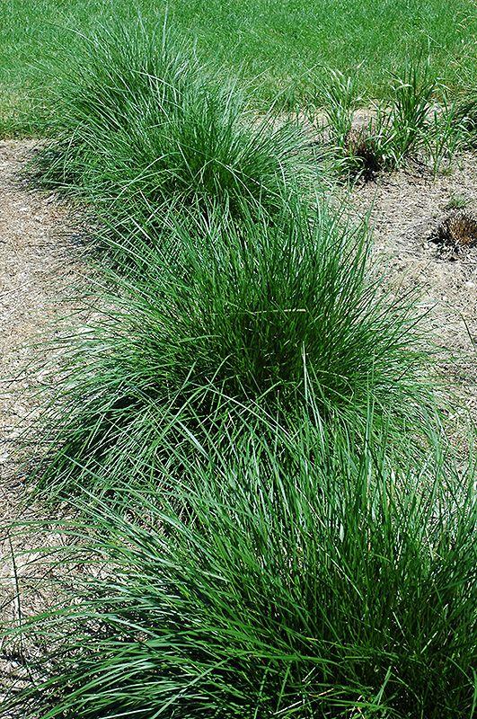 Click to view full-size photo of Tufted Hair Grass (Deschampsia caespitosa) at The Green Spot Home & Garden