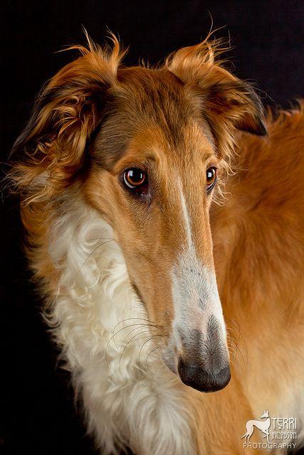Beautiful Borzoi - had one as a child - beautiful! #dogs #animal #borzoi