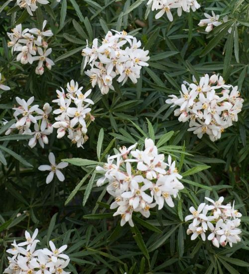 An excellent aromatic evergreen shrub, which is covered in scented white flowers in spring and again in late summer.