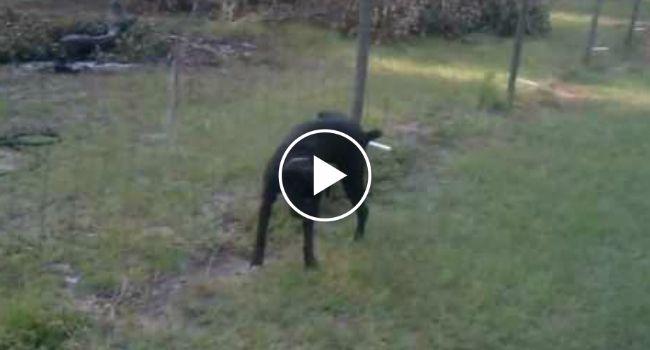Cão Tem a Infeliz Ideia De Fazer Xixi Para Uma Cerca Elétrica