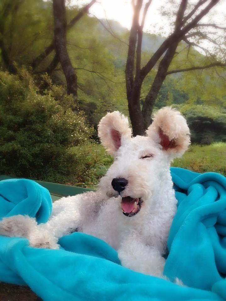 487 besten Fox terrier pelo de alambre Bilder auf Pinterest | Draht ...