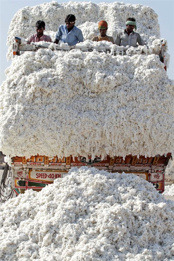 Laboring in cotton Indian laborers unload cotton from a truck at a cotton mill in Dhrangadhra, about 110 kilometers from Ahmadabad, India