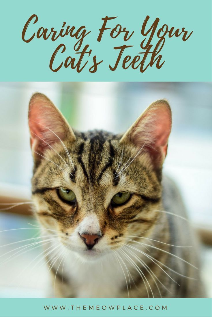 Why Your Cat Must Have An Annual Dental Cleaning Pet Health Dental Cleaning Pet Health Record