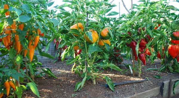 Growing tips for peppers in gardens, raised beds, or containers