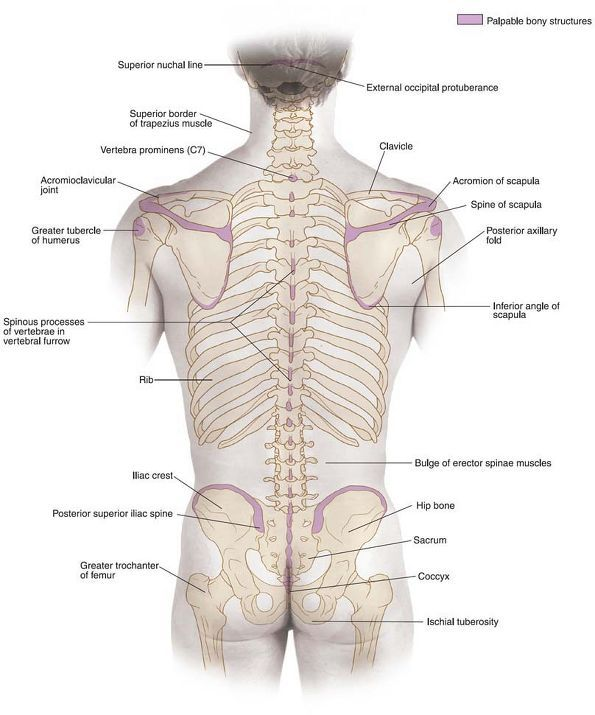 What does longus mean in anatomy