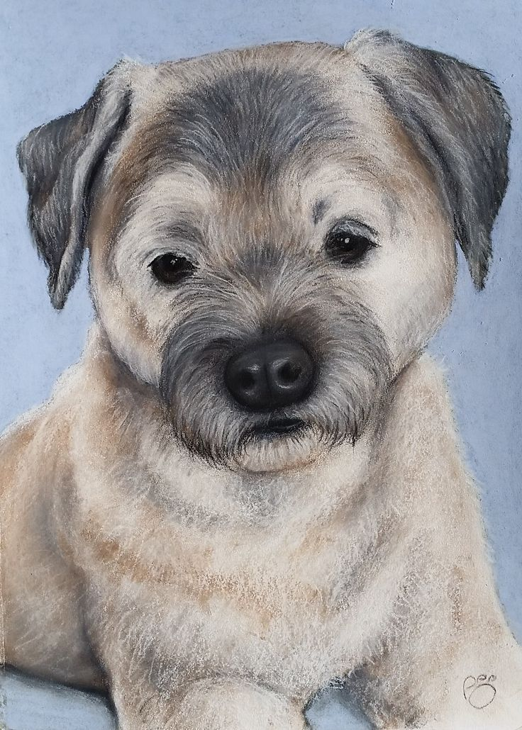 Border Terrier Pastel on Paper www.petpastelportraits.com