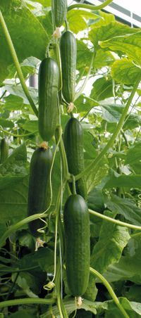129 cukes per plant, this works great! I have done this every year and it is great!!