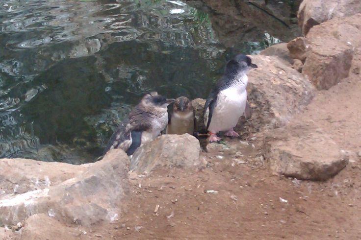 Penguins, Granite Island South Australia www.wealth-love-peace-believe.com