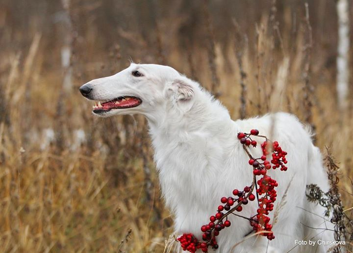 "Borzoi      ★★      Russian gift to the world      ★★       Kennel ""Lunnaya Raduga"""