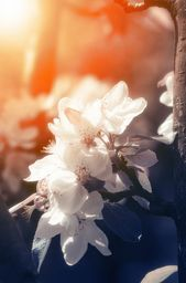 """Blossom. Blossoming apple in spring garden in sun beams. From """"Blossom"""" photo prints collection. #nature #spring #posters"""