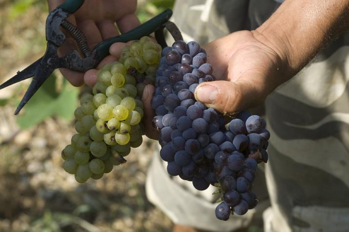 Pinot Grigio grape.....