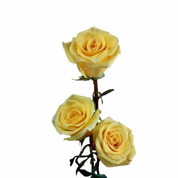 """Conga"" Yellow Roses (Pack of 100 stems)"