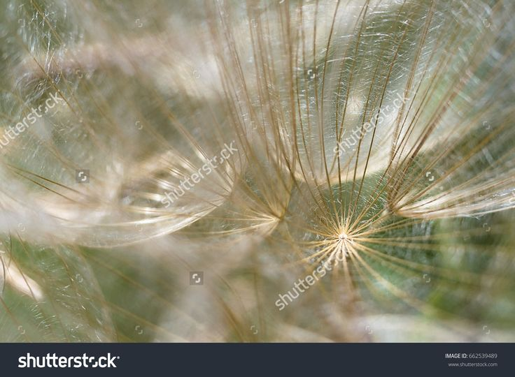 Dandelion seeds close up. Abstract macro background.
