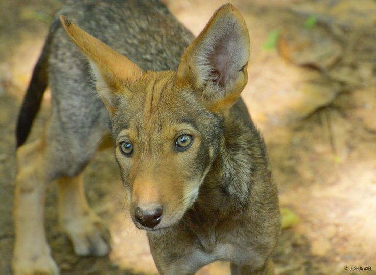 Despite efforts to reestablish red wolves, recent politically-fueled attacks and popular misconceptions have largely undone recovery efforts and they are once again facing extinction with less than 45 red wolves.