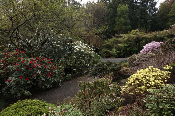"Rockery yellow rhododendron and mauve rhododendron ""Phalarope"""