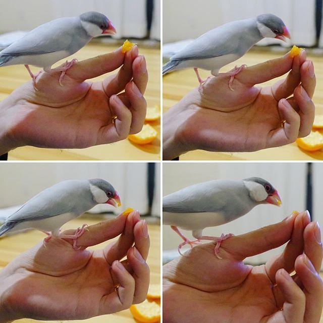 必死でみかんに食らいつくピッピ🐣🍊 #文鳥 #シルバー文鳥 #写真好きな人と繋がりたい