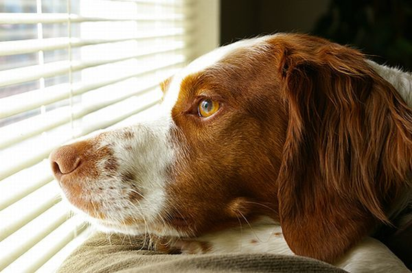 Reminds me of my Brittany, Missy-  sweetest dogs ever!