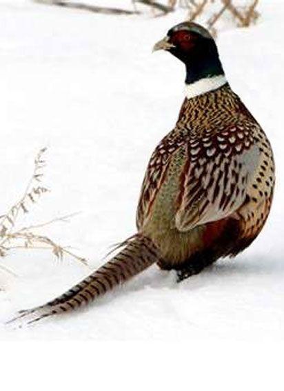 Фазан / Pheasant