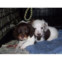 Dachshund for adoption in Ohio