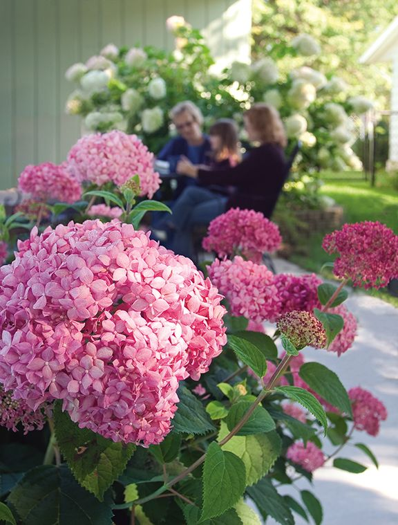 Confused By All Of The Hydrangea Options Out There? Let Us Take The Mystery  Out · Hydrangea CareHydrangeasHerb GardeningFlower ...