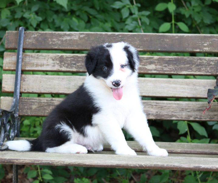 Relaxed Bordercollie Border Collies For Sale Border Collie