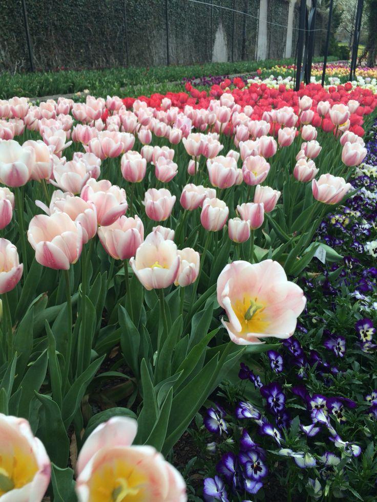 Tulip at Cheekwood botanical garden