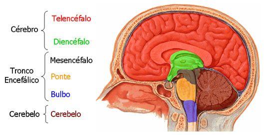 Aula de Anatomia - Sistema Nervoso