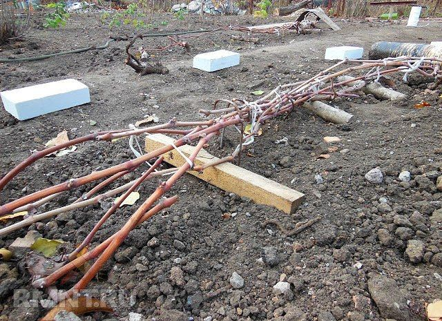 """УКРЫТИЕ ВИНОГРАДА НА ЗИМУ Сохраните, чтобы не потерять!  Секретами зимнего ухода за виноградом поделились сибирские виноградари, которые из года в год прилагают большие усилия для того, чтобы собрать """"южные урожаи"""" К середине сентября снимите все грозди, и проведите обрезку. Самый простой способ как правильно обрезать куст: оставить по три  плодоносившие лозы справа и слева, обрезая ту часть, которая не вызреет, а  также лишние побеги. В  это же время заготовьте черенки. Поливайте виноград…"""