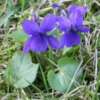 Fiołek wonny (Viola odorata)  Niewielka (do 20 cm wysokości), lekko płożąca bylina zwykle w okresie od maja do sierpnia wytwarza liczne ciemnofioletowe, niebieskie lub białe kwiaty, pachnące intensywnie. Liście fiołków są dodawane czasem do zup, a kwiaty po kandyzacji służą jako ozdoba ciast i deserów.