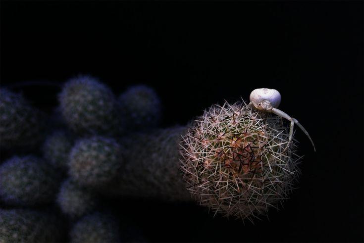 Японский морской паук на кактусе