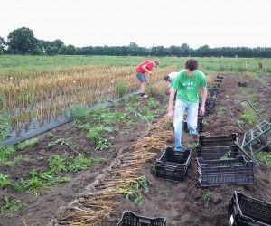 knoflook oogsten