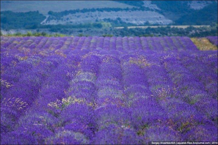 Lavenderfields06 Крымский Прованс. Лавандовые поля в Крыму