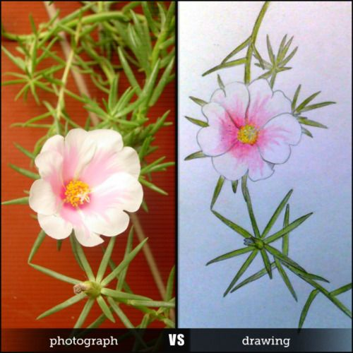 Bunga Pukul Delapan a.k.a. Portulaca Moss a.k.a. Japanese Rose. Photograph vs drawing on color pencil by Dee.