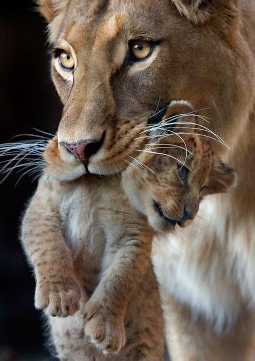 Lion Mother and Cub
