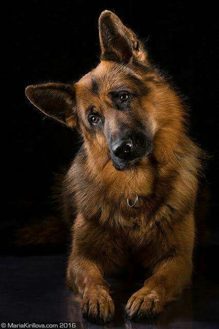 A Beautiful long haired German Shepard with the classic head tilt! Love it!