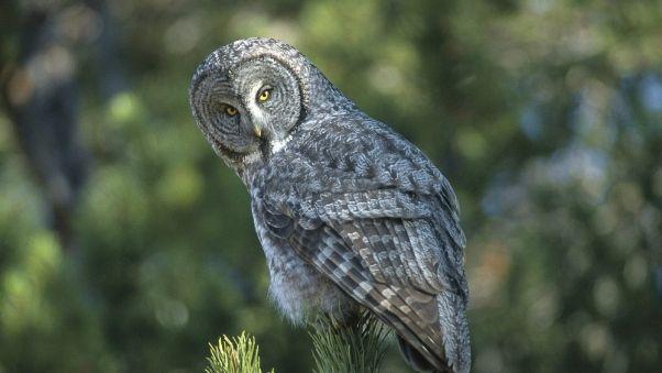 Wallpaper owl, spruce, opinion, expectation, bird, predator