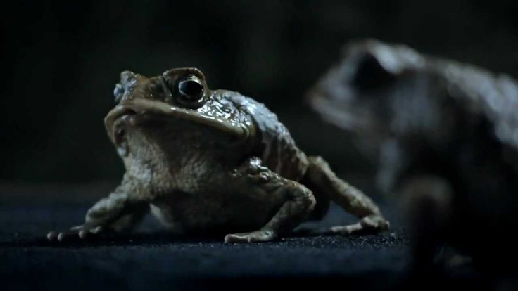 Ford Falcon Funny Banned Commercial Frogs Toads Australia 2012  For those more sensitive...bear in mind how much of a pest (killers) these toads are to Aussie wildlife