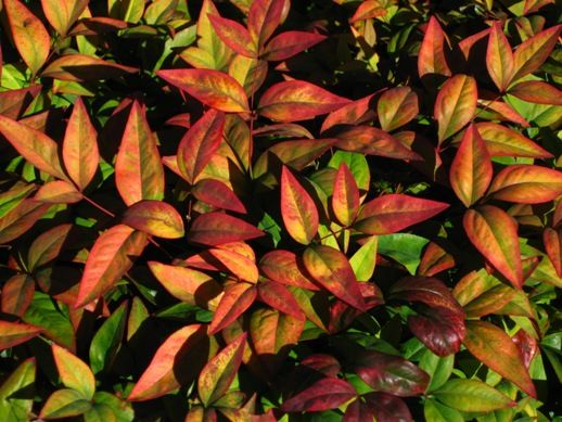 Nandina domestica Nana-Generally stays under 15', Evergreen - Leaves take on red, orange, and even purple tints in Autumn/Winter - In Spring new growth is lime green.