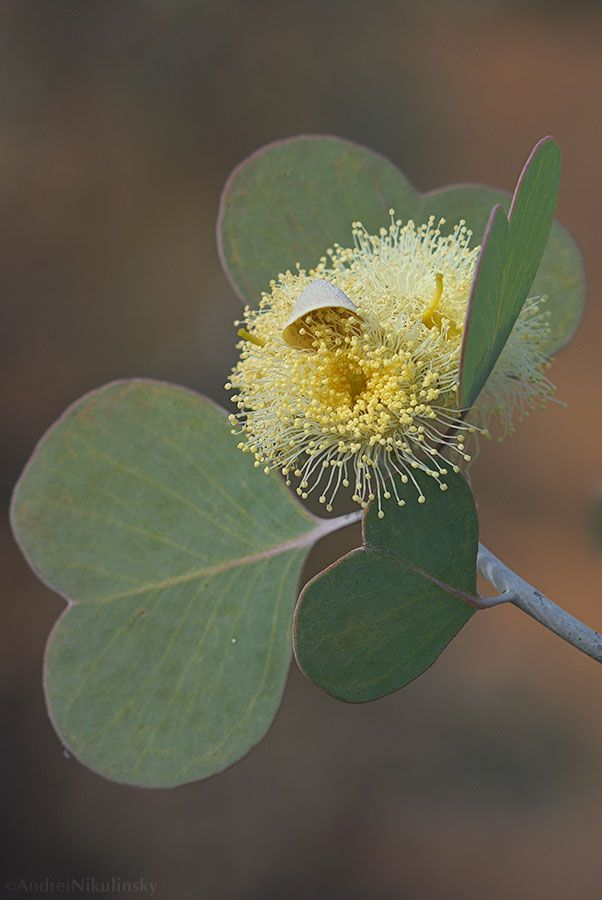 Eucalypt in flower Hospital Rocks, Western Australia