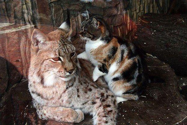 Две подруги: рысь и кошка